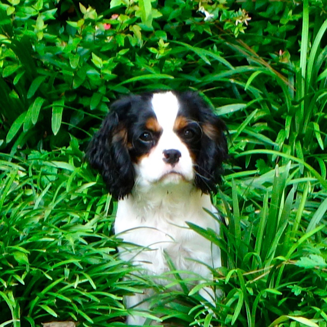 mayfield cavalier king charles puppy